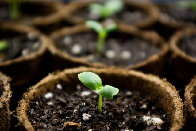 Seedlings in peet pots
