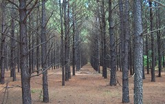 Loblolly Pine Plantation