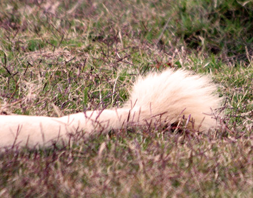 White Lion's tail!   Flickr - Photo Sharing!