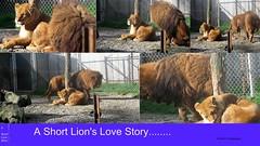 Lion's Story