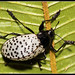 Polka Dot Beetle by Hamilton Images