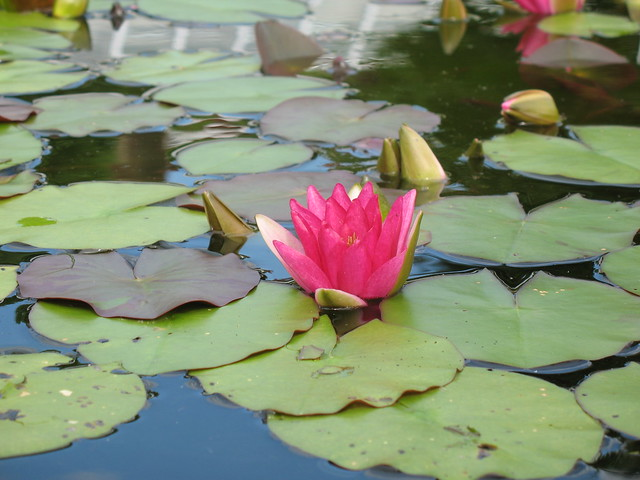 Nymphaea 'Ellisiana', in the north pool of Lily Pool Terrace.