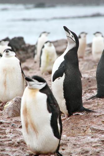 chinstrap penguins - manchots à jugulaire - Pygoscelis antarcticus by chogori20