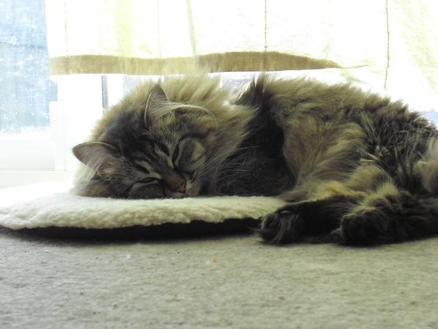Petting Brown Cat Gif