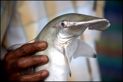 Hammerhead shark baby - photo#13