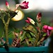 Small photo of Adenium