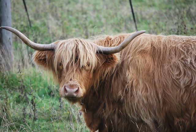 Las auténticas vacas escocesas