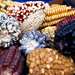 Colourful Maize