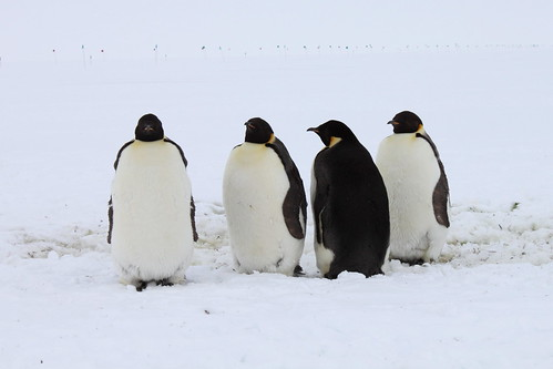 Antarctica: Emperor Penguins at Pegasus Runway | by eliduke