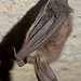 Healthy Virginia big-eared bat