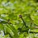 """Syngonanthus sp. """"Madeira"""" Flower"""