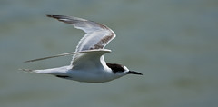 Birds - Terns