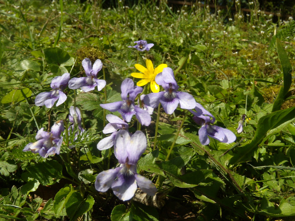 Violets and Celandine Gerrards Cross to Cookham