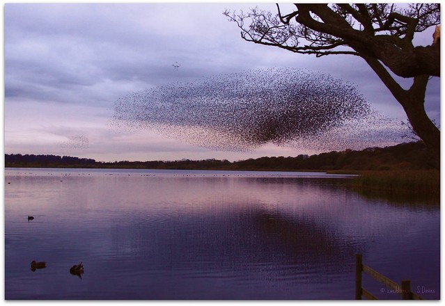 Starling flock at dusk