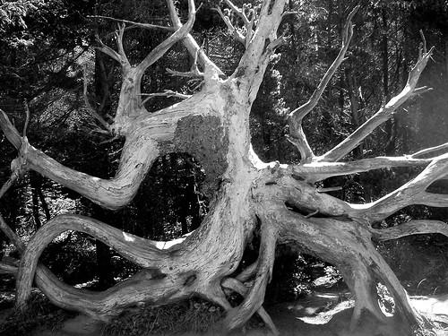 travel blackandwhite tree roadtrip 2006 pete iphoto oregoncoast 500views enhanced shoreacresstatepark cooscounty pete4ducks