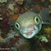 Globefish by Aquatic Ape