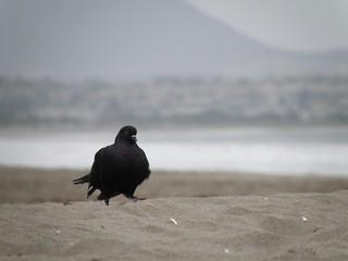 Image of  Playa Grande de La Serena  near  La Serena. beach sand pigeon paloma playa arena