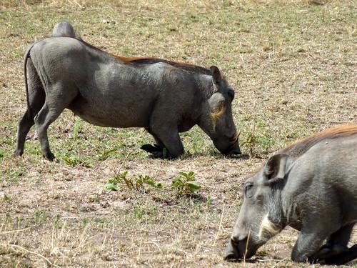 Warthogs, Maasai Mara, Kenya