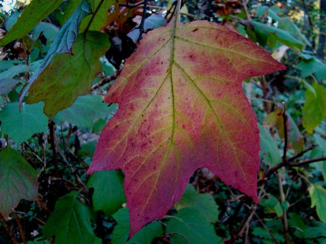 Oakleaf hydrangea fall colorOakleaf Hydrangea Fall Color