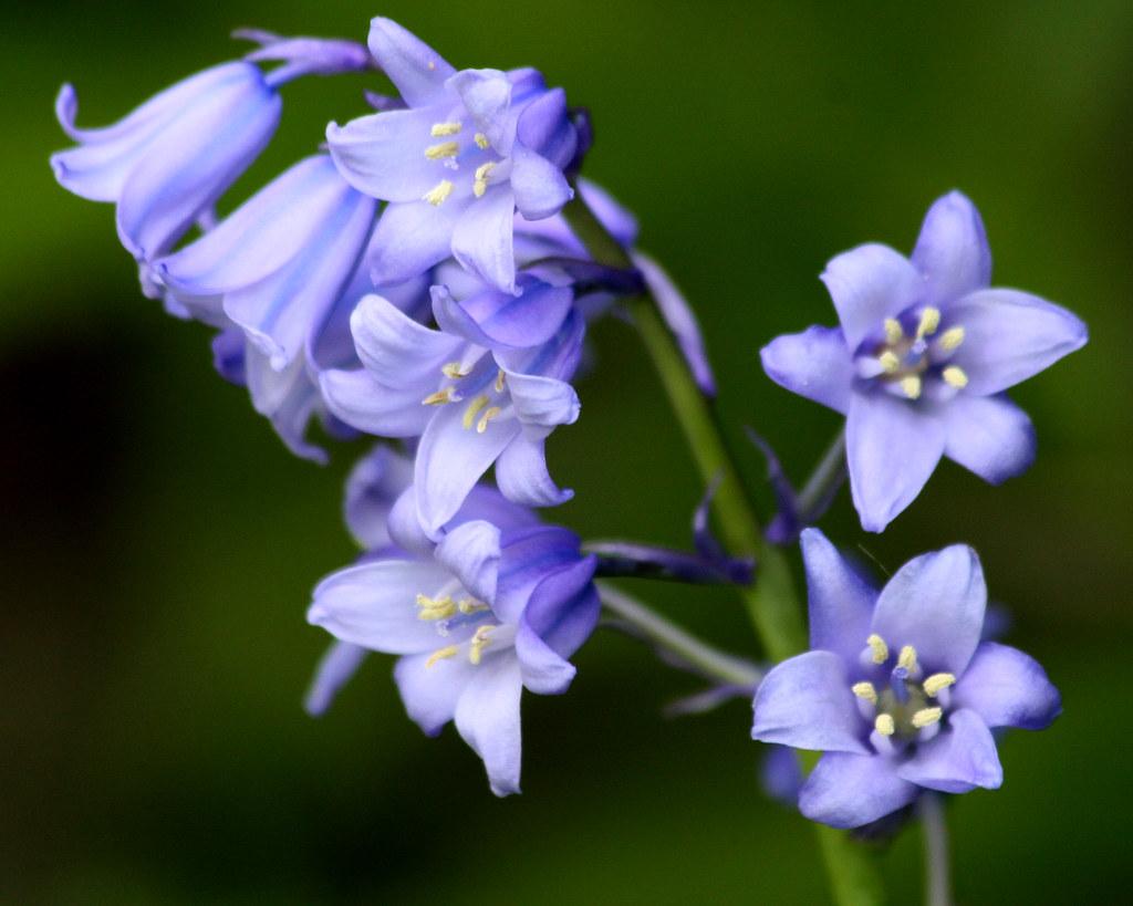 Bluebell flowers Spanish bluebells
