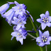 Spanish Bluebell - Photo (c) Mukumbura, some rights reserved (CC BY-NC-SA)
