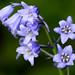 Spanish Bluebell - Photo (c) Mukumbura, some rights reserved (CC BY-NC-SA)