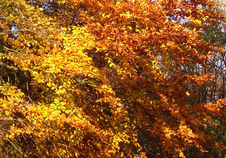 Boughs of Gold.