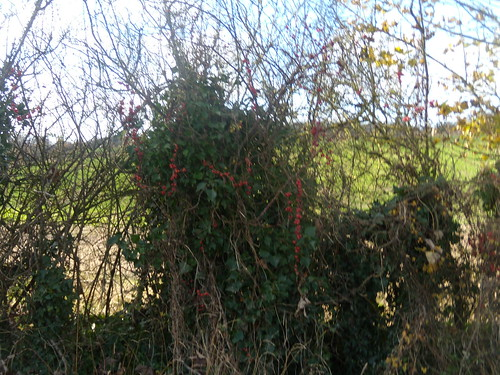 Bryony in the hedge