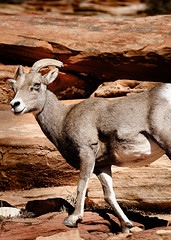 sheeps(0.0), sheep(0.0), animal(1.0), argali(1.0), mammal(1.0), horn(1.0), barbary sheep(1.0), fauna(1.0), wildlife(1.0),
