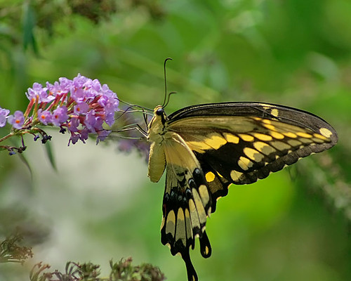 justin nature butterfly insect texas wildlife lepidoptera giantswallowtail