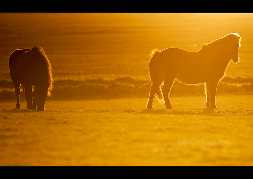 winter sunset horses horse sun sunrise golden iceland pasture fields grazing goldenlight icelandichorse icelandhorses nikkor7020028 icelandwinter nikond3