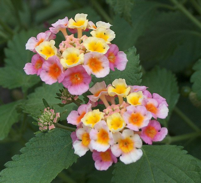 Lantana Pair, New Bern, North Carolina