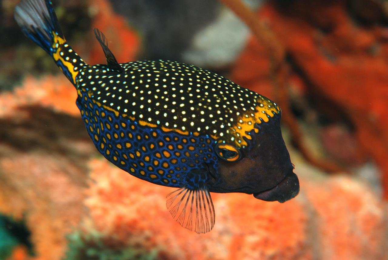 Blue Spotted Boxfish.
