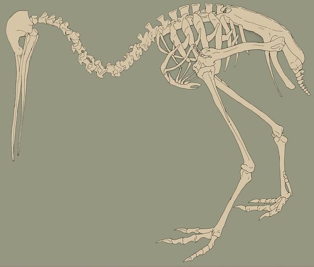 Kiwi Skeleton | Flickr - Photo Sharing!
