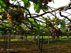 Inside the Vineyard | by Manchitra