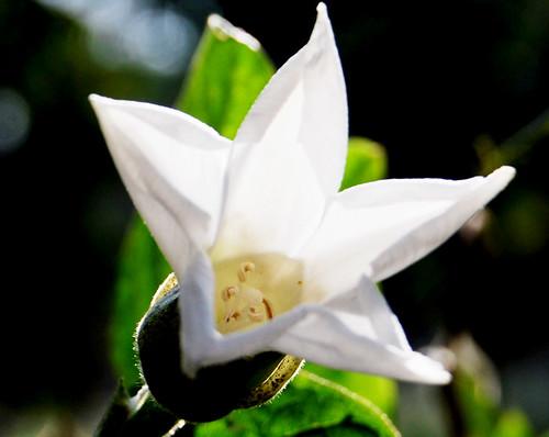 Name  -gossypium herbacumlinn