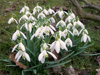 Snowdrops (Galanthus nivalis) | by Peter O'Connor aka anemoneprojectors