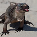 Allen's Island Iguana - Photo (c) Jimmy Baikovicius, some rights reserved (CC BY-SA)