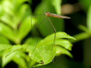 Long-legged Cranefly