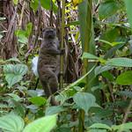 Eastern Lesser Bamboo Lemur, Marojejy National Park, Madagascar