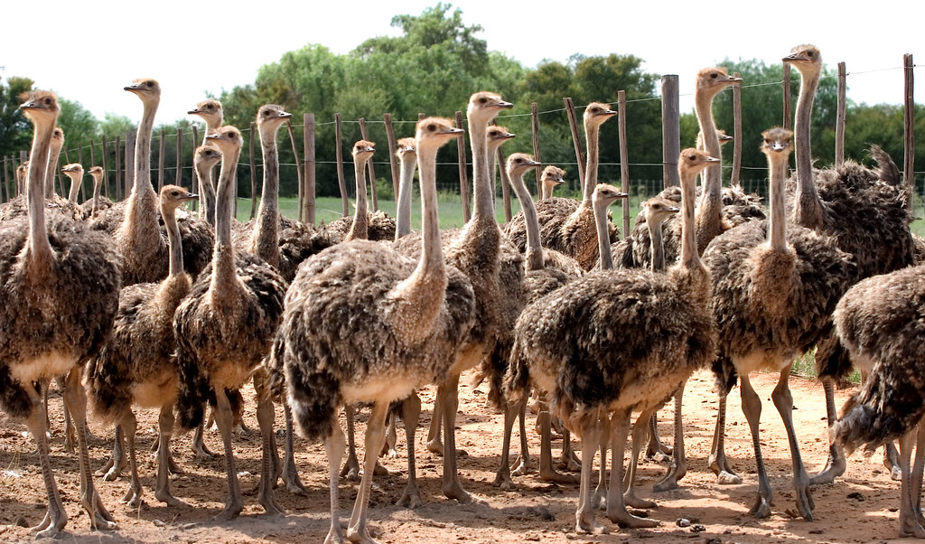 Ostriches - Oudtshoorn, South Africa