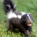 Baby skunk by floridapfe