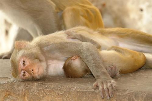 Templo de los monos de Jaipur Galwar Bagh, el templo de los Monos de Jaipur - 4172559990 74f02e9dbb - Galwar Bagh, el templo de los Monos de Jaipur