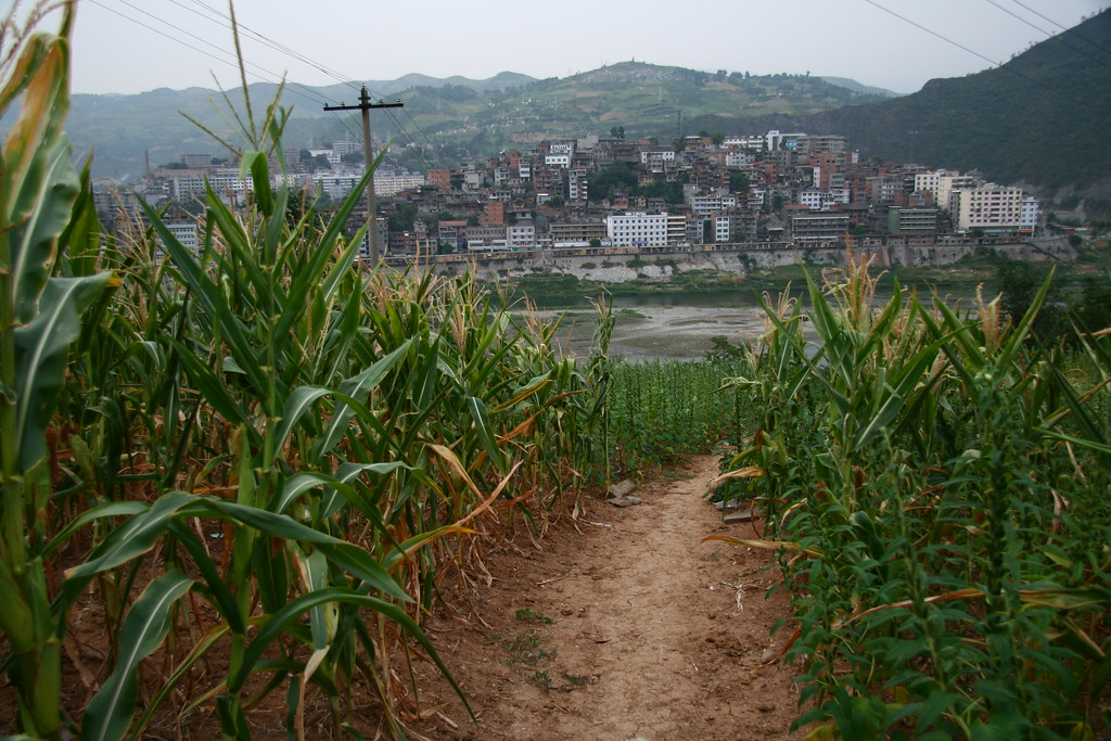 cornfield by a river in China