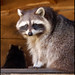 Small photo of Racoon