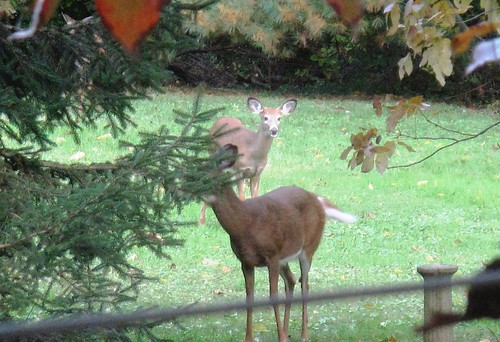 deer in the backyard