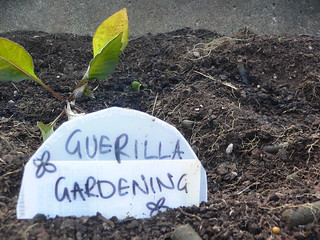 Dahlia next to the Guerilla Gardening tag