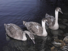 The Brothers Swan