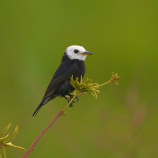 Freirinha (White-headed Marsh-Tyrant)
