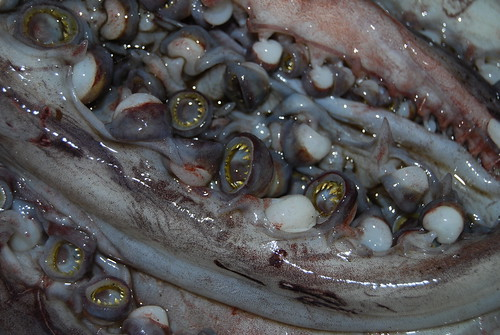 Humboldt Squid Tentacles and toothed suction cups
